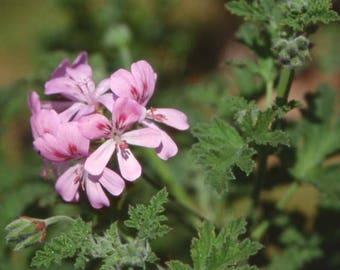 Pelargonium Sweet Mimosa-potted garden plant