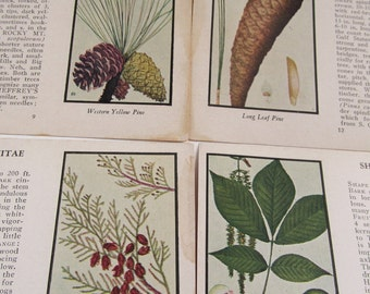 Vintage 1930's Botanical Illustrations, Trees of North America, Trees, Illustrations by Frances Andre Michaux and Ethyl Bonney Taylor