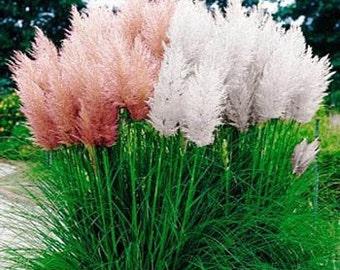 Pampas Mix Grass Seeds/Cortaderia selloana/Perennial   100+