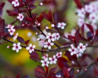 8x12 Macro Photo Print: Cherry Plum Blossoms