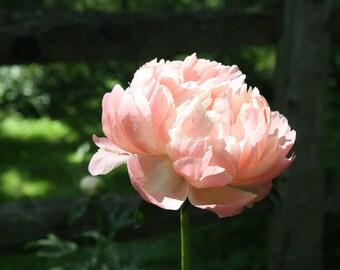 Pink Peony, Flower, Nature, Original Photograph, Handmade
