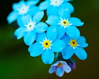 French Forget Me Not flower 30+ seeds