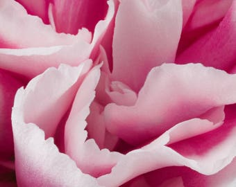 Petals of a Pink & White Carnation Abstract Flower Photograph Matted to 12 X 12