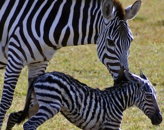 Baby Zebra's First Steps