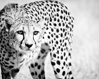 Cheetah Home Decor - Modern Fine Art Animal Photography - Monochrome Black and White Wall Art