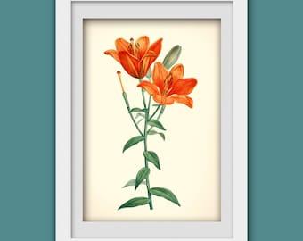 Botanical wall art. Orange flower print. Botanical print. Art print from a vintage bookplate   #116 INSTANT DOWNLOAD