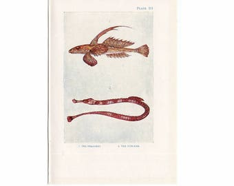 C. 1907 ANTIQUE FISH LITHOGRAPH - original antique sea life ocean print - - dragonet & pipe fish with the flounder fish on reverse side