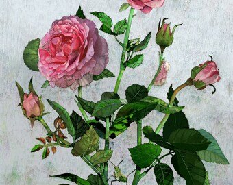 "18x22"" Hummingbird and rose, Premium Giclee Print"