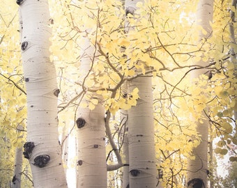 Aspen trees fall, fall tree photo, aspen tree decor, Colorado art, rustic wall decor, log cabin art, fall leaves photo, nature   Pale Gold