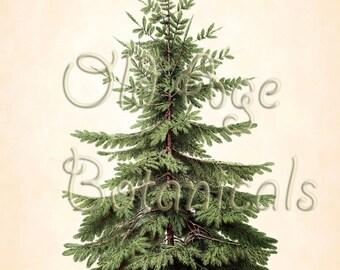 Antique Botanical Print Nordmann Caucasian FIR Coniferous Evergreen Plant Tree Pine Cone Christmas 11x14 Vintage Art Wall Decor LBF0622