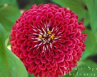 Stunning, Scarlet, Zinnia, Green Leaves, Macro, Garden Flower - Fine Art Photograph