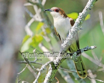 Bird Photography | Black Billed Cuckoo | Large Brown White Songbird | Outdoor Lichen Photo Art | Forest Bird | Birder Gift Idea | Bird Print