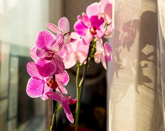 Purple-Pink Orchid
