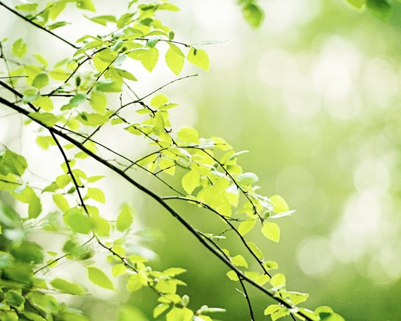 Nature Photography green leaves photo tree branches wall art