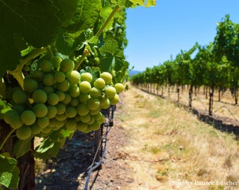 Kenwood Vineyard