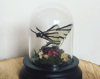 Real butterfly in a mini glass dome bell jar cloche
