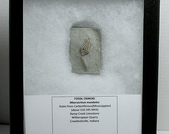 CRINOID FOSSIL; Crawfordsville, Indians