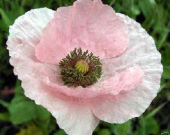 50+ Angel Choir Poppy / Perennial Flower Seeds