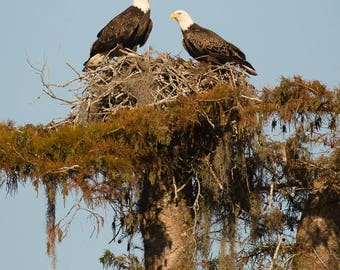 Louisiana Bald Eagles on Nest in Spanish Moss Covered Tree
