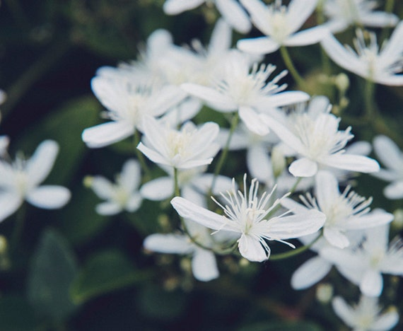 White Petals, Garden Image, Art, Photography, Botanical Art, Floral Print, Classic Home Decor, White Print, Fine Art Print