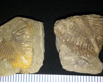 2 Trilobite Coronocephalus parts (2B)
