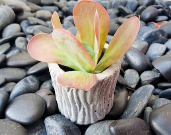 Flapjack potted succulent