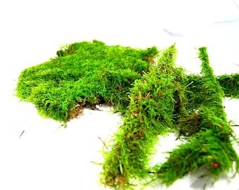 Live moss mix #7 Terrarium moss, vivarium moss, for miniature or fairy garden, terrarium plant, live decor, vivarium plant, for frogs,