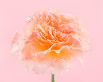 orange rose flower photography print, Wall Decor, Flower Wall Art, Floral, Home Decor, Fine Art Photography Print