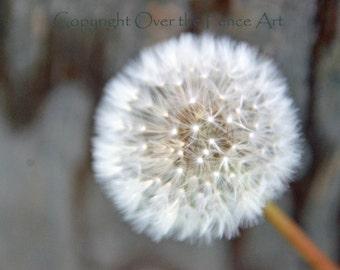 Dandelion Card  Photography Dandelion Blowing in Morning Wind blank photo card