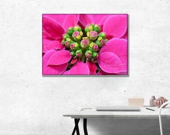 Close up of Princetta flower in Pink. Photo Wall Art Print