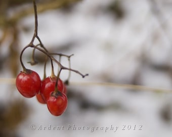 Red Berries against White Snow Winter Wall Art Contrast Room Decor Simple Nature- Winter Nightshade a Fine Art Photograph by Ardent