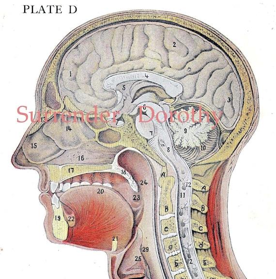 Sección transversal cabeza humana cerebro anatomía ilustración
