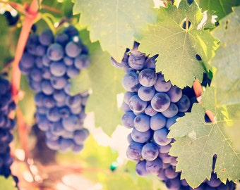 Wine Country Grapes photograph - Sonoma County - 8x10 photograph - California fine art print - nature photography - wine grapes