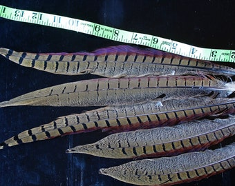 5 shorter Ringneck Pheasant tail feathers