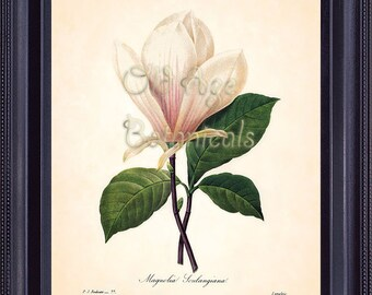 Antique REDOUTE Botanical Print Large White MAGNOLIA Flower 8x10 Floral Art Print Natural History Vintage Botanical Plate Wall Decor BF1321