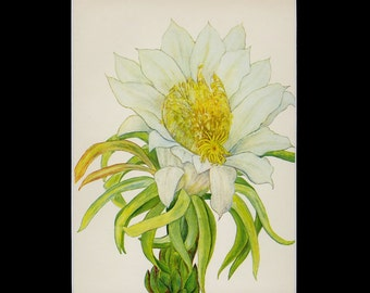 """MATTED Vintage Hawaiian Flower Print - """"Night-Blooming Cereus"""" c. 1938 - Botanical Book Plate - Cottage Decor - Matted Floral Print"""