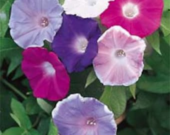 AIP) CHOICE MIX Morning Glory~Seeds!~~~~Stunning Blush of Colors!!