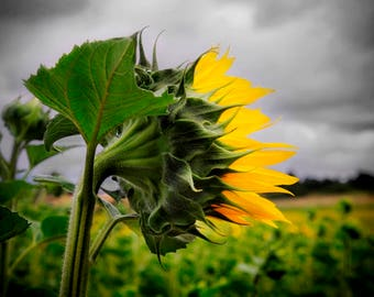 Loire Valley, Sunflower at Champtocé-sur-Loire, France, 2016