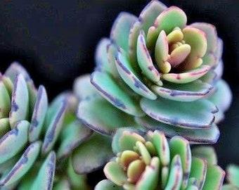 Succulent Live Plant Kalanchoe fedtschenkoi -Lavender Scallops