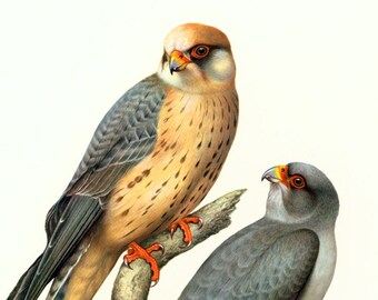 1961 Falcon Print, Red FootedFalcon Wall Art, bird of prey illustration, Vintage Ornithology