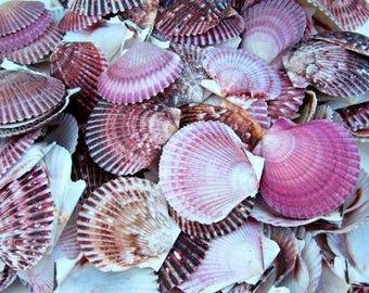 Purple Pecten Shells, scallop shells, craft shell, beach decor, bulk shells, terrarium supply, purple shells, colorful shell, mermaid shell