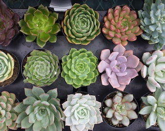 Four Small Succulent Plants - You Choose 4