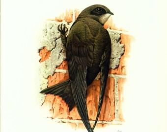 1969 Swallow, House martin, vintage illustration Bird Print, Ornithology, nature wall art, Natural history
