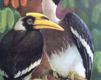 1968 Colourful Vintage Great Hornbill Print - Tropical Bird - matted and ready to frame - 14 x 11 inches - Buckeroos Bicornis -