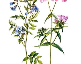 Greek Valerian, Hairy Phlox Flowers - Botanical Print - 1954 Vintage Book Page - 11 x 8