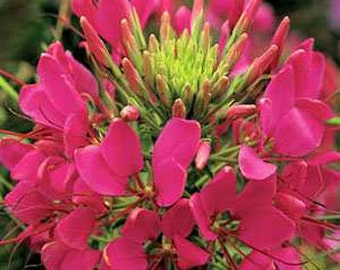 Rose Queen Cleome Flower Seeds/Hassleriana/Annual  50+