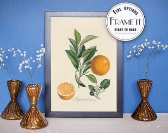 "Vintage Botanical illustration of Orange  - framed fine art print, botanical art, 8""x10"" ; 11""x14"", FREE SHIPPING - 320"