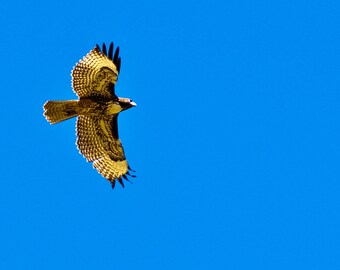 Red Tail Hawk in Flight full color