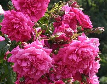 Laguna ™ Rose Bush Fragrant Pink Climbing Rose Plant Own Root In 5 Inch Deep Root Pot Lush Double Flowers SPRING SHIPPING