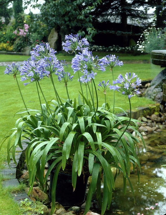 Lily Of The Nile Blue Aka Agapanthus Africanus Blue Live